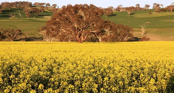 Canola field, NSW, Australia