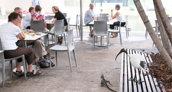 Water dragon and ibis visit cafe, Brisbane, Queensland